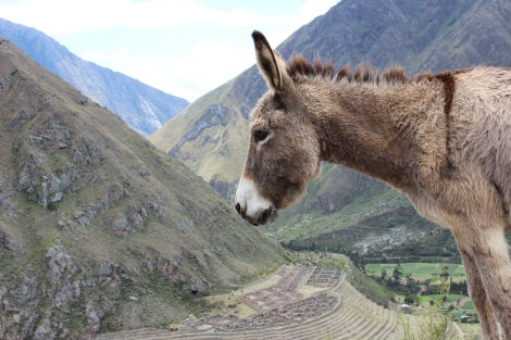 There are many animal friends to be found along the Inca Trail too. Here is a donkey in front of Llaqtapata.